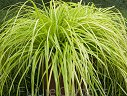 Carex oshimensis Turzyca EVERILLO® /C2,5